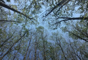 Defoliation in an oak stand within Frye Mountain WMA  caused with feeding by browntail moth and gypsy moth