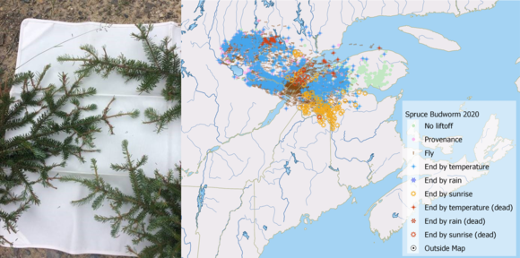 2020 spruce budworm defoliation from Big 20 township  (right) Model of spruce budworm atmospheric transport. MFS; Canadian Forest Service