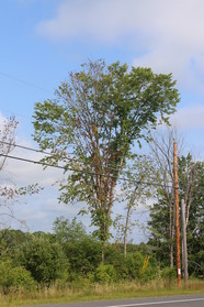 A elm tree dying from DED, flanked by already deceased elm trees. MFs
