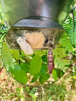 Gypsy moth on trap