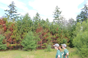 Red pine scale
