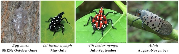 Spotted lanternfly life stages