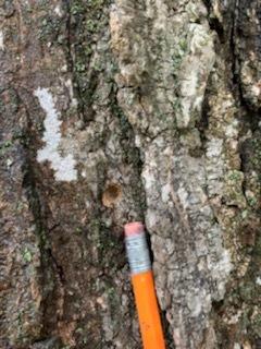 Anoplophora Macularia
