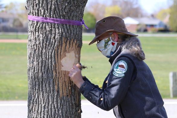 EAB Ash Tree Zero