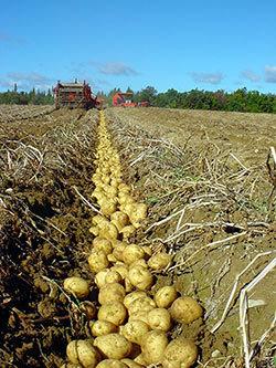 potatoes in furrow