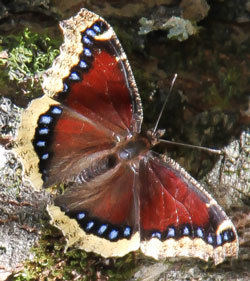 Mourning Cloak butterfly, wings spread; dark reddish-brown with two edge bands: yellow, black above with bright blue spots.