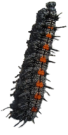 Mourning Cloak larvae (caterpillar). Black with tiny white spots, black spines, and large orange spot on back of each segment.
