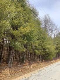 yellowing white pine