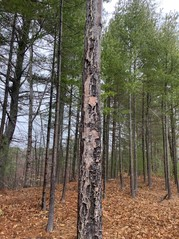 Sunscald injury to a white pine tree adjacent to a recently cleared area