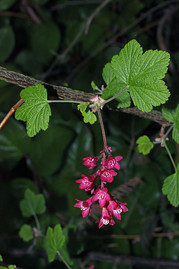 A member of the genus Ribes, a currant plant, one of several species in this genus which can serve as the primary host for white pine blister rust.