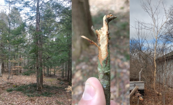 Examples of mammal damage: porcupine damageon hemlock ;porcupine teeth marks; bark chewed off a boxelder by squirrels