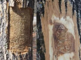 EAB galleries revealed beneath the bark