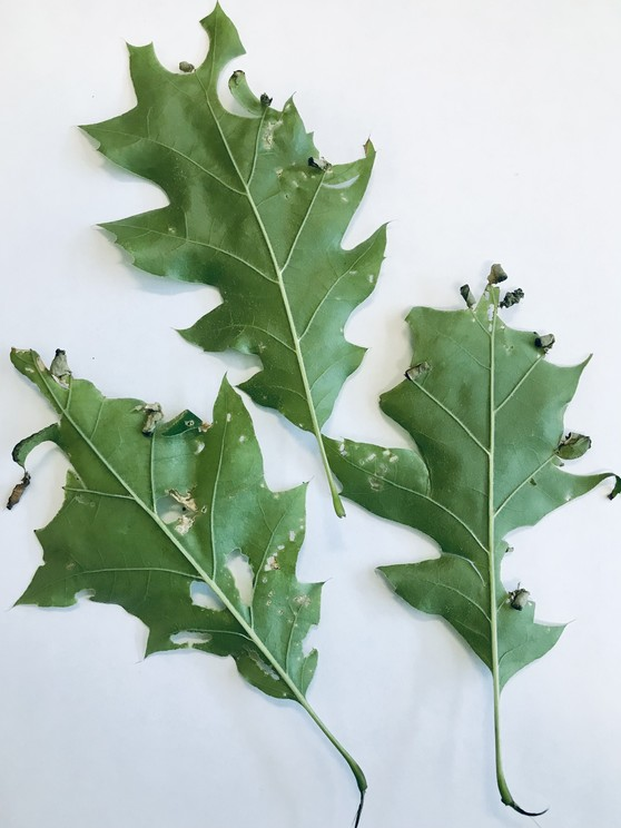 Leaves damaged by the oak leafrolling weevil