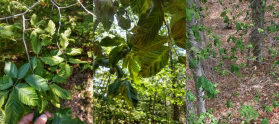 Beech leaf disease symptoms