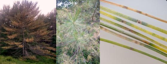 White pine needle damage and decline