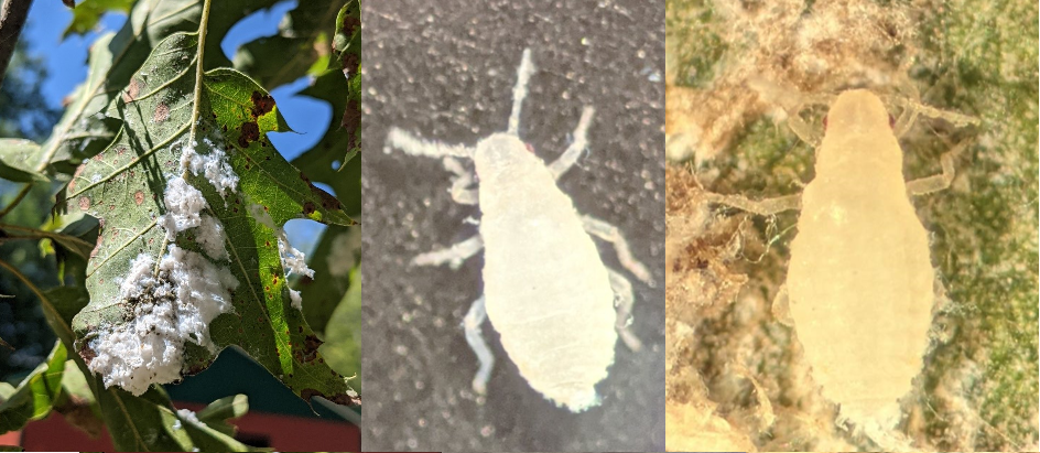 Images: (left) Flocculence on the underside of a red oak leaf; (middle and right) Wingless (apterus) aphids under magnification.