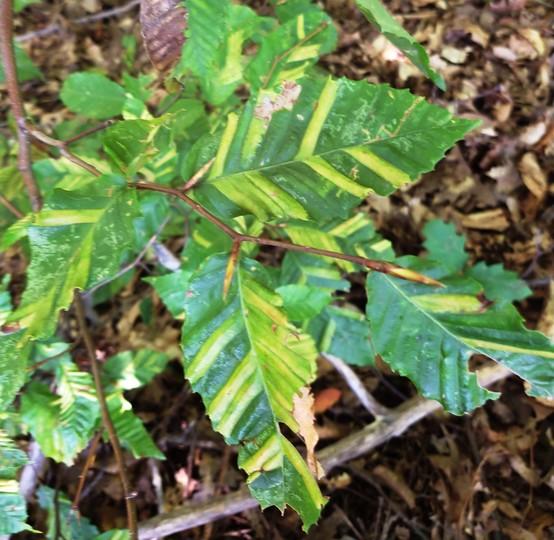 Beech leaf showing symptoms of beech leaf disease