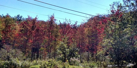 Early coloration of red maples in an area with poor drainage.