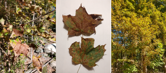 (Left) Sugar maple without typical fall coloration, (Middle) maple leaves with lesions, (Right), sugar maple trees with dull yellow coloration