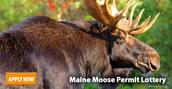 mooselottery