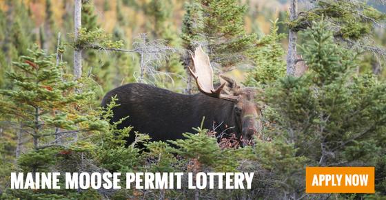 moose permit