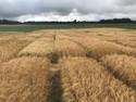 Michigan barley