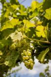 Michigan wine grapes