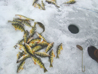 Yellow perch on Saginaw Bay