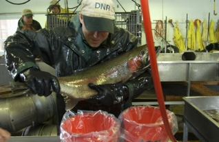 Steelhead egg collection set for Little Manistee River this