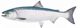 Profile of coho salmon