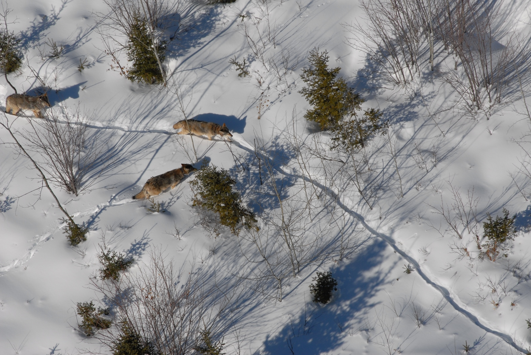 Three wolves are shown on a trail in an aerial photo of a snow-covered landscape in the Upper Peninsula.