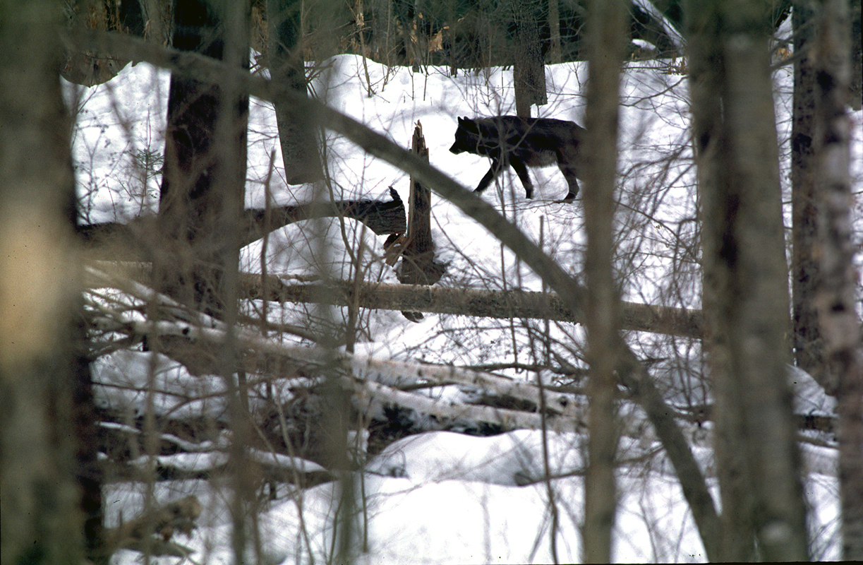 A dark-colored wolf walks through the woods in the Upper Peninsula.