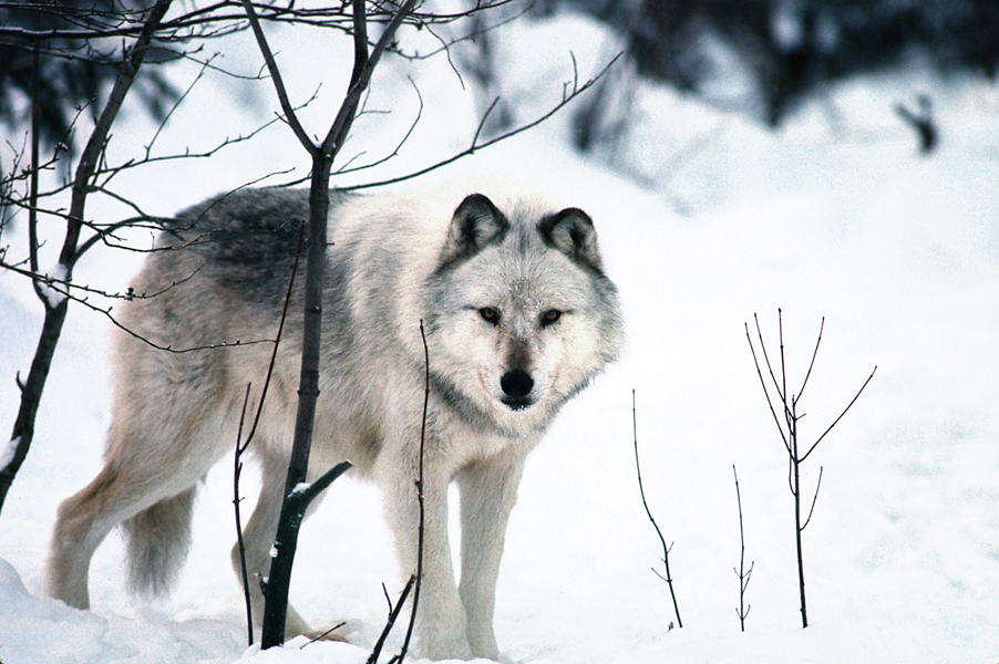 A light-colored wolf is shown in the Upper Peninsula winter.
