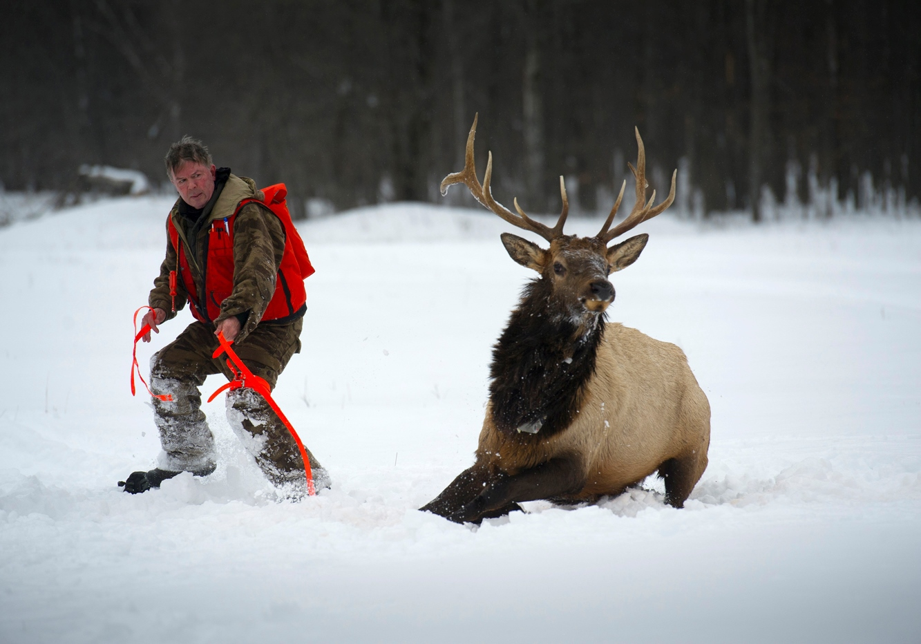 A bull elk runs away from a DNR researcher in a snowy setting in the northern Lower Peninsula.