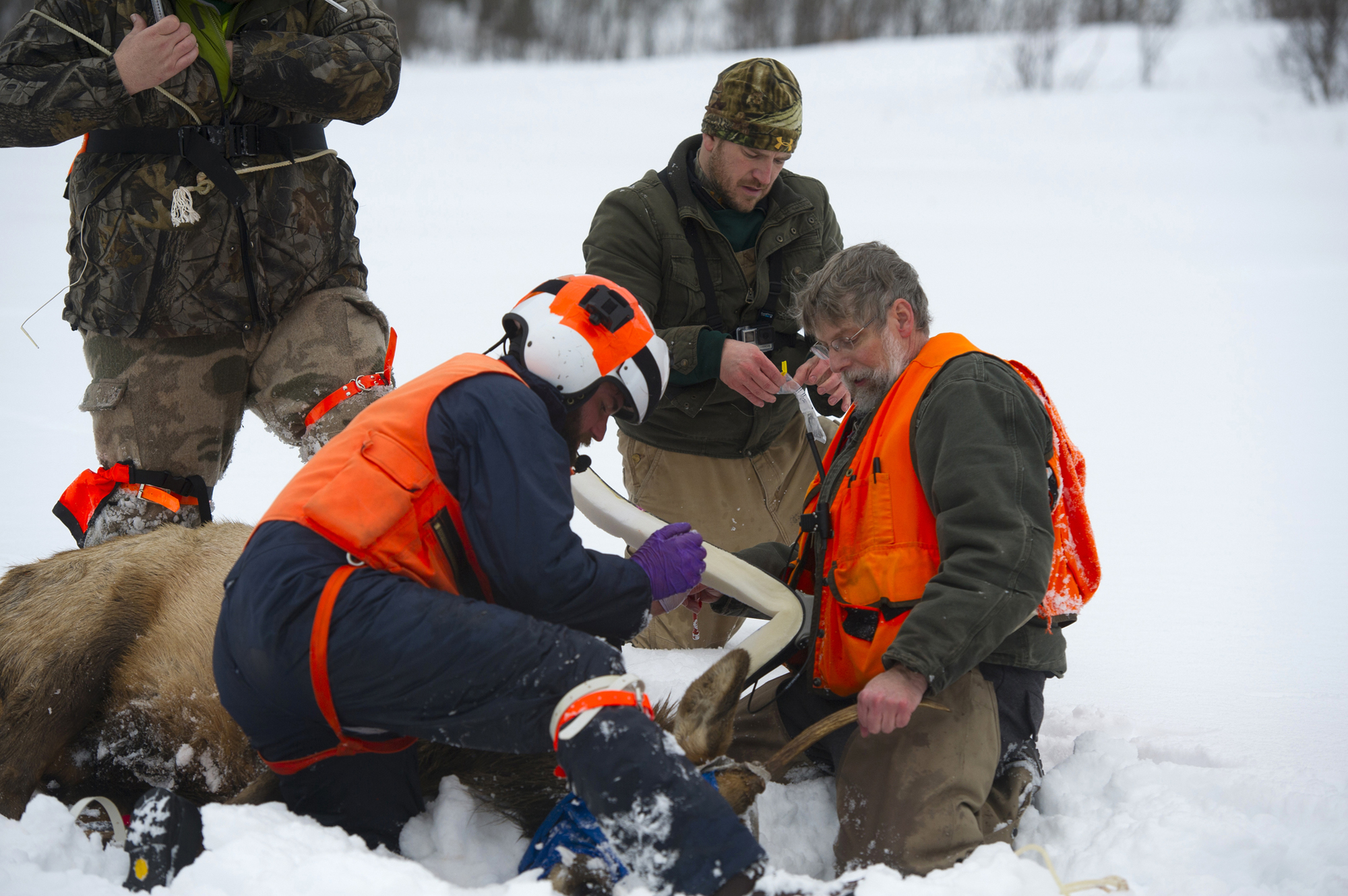 Researchers are grouped around an elk that is lying in the snow. They work to fit the animal with a GPS collar before release.