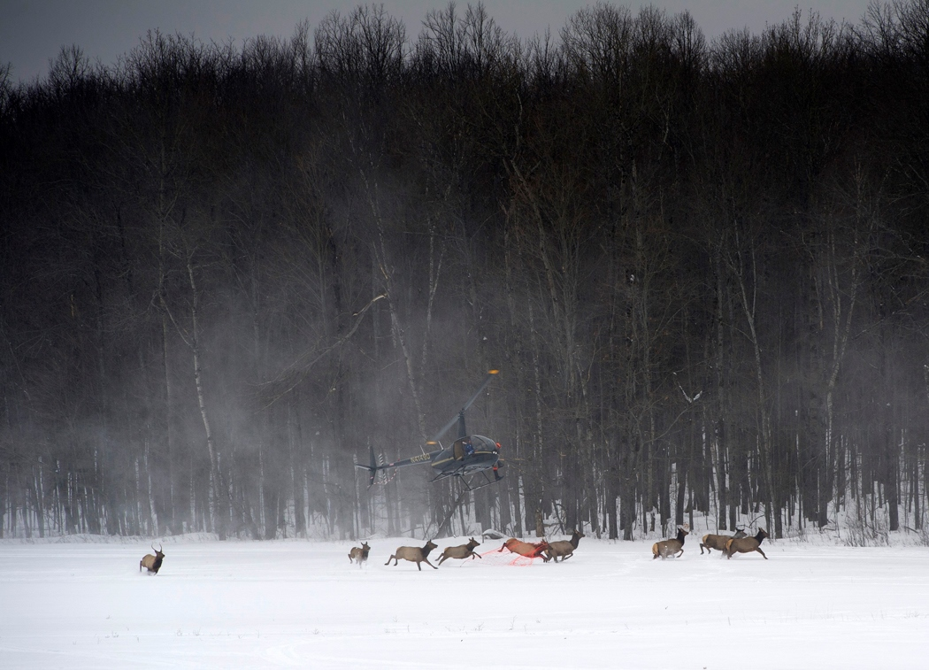A helicopter moves in on a group of elk in a snow-covered field in the Lower Peninsula.