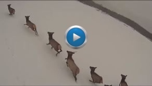 video still showing elk viewed from helicopter