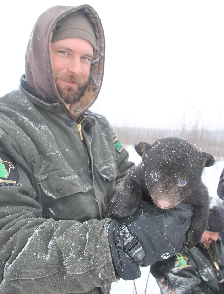 Michigan Department of Natural Resources wildlife technician Mark Monroe holds a young black bear up toward the camera during a den check this winter