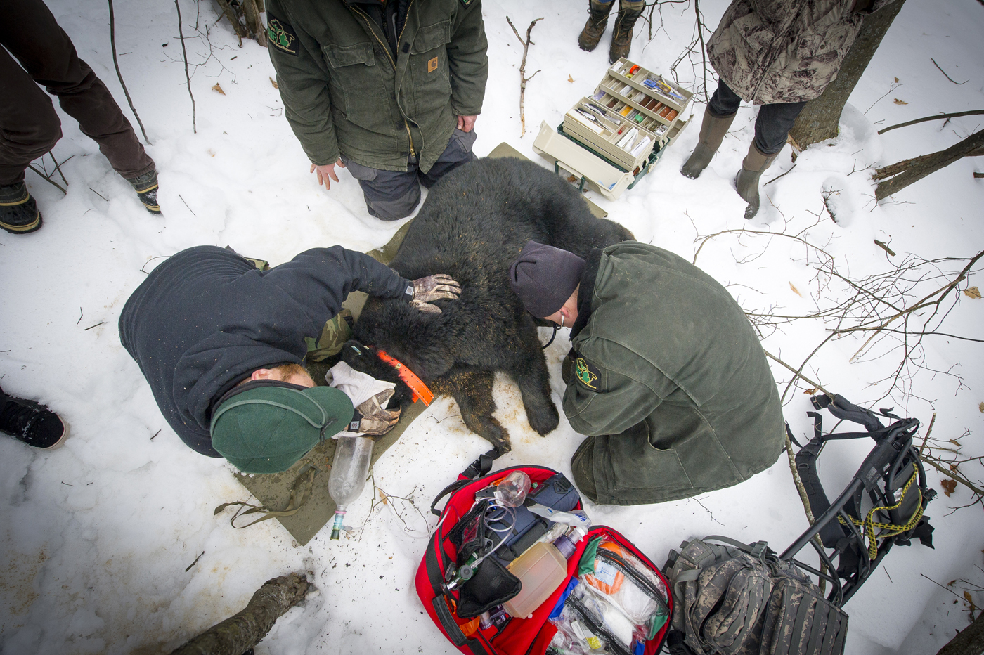 An overhead view shows a crew working on snow-covered ground to examine a black bear sow this winter.