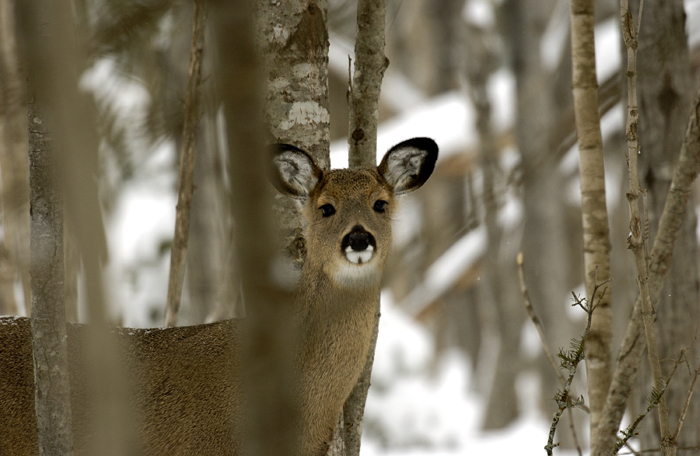A white-tailed deer looks toward the photographer from a wintry Upper Peninsula forest.