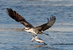 The osprey: March's Migratory Bird Treaty Centennial featured bird