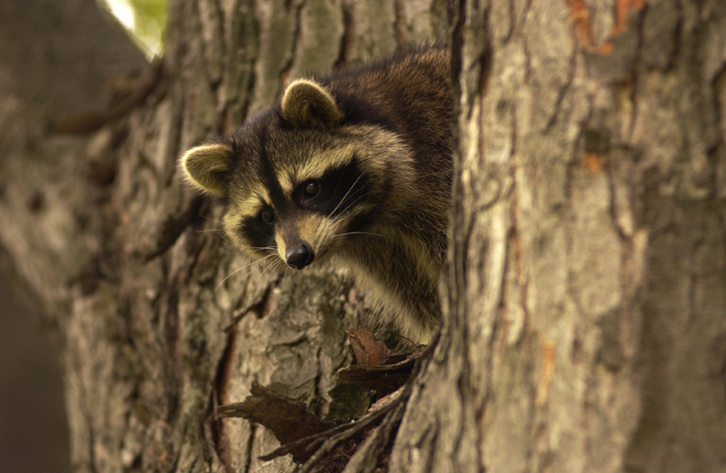 A raccoon peeks down from a hardwood tree. Raccoons are known to become aggressive as they get older, another reason to leave them in the wild.