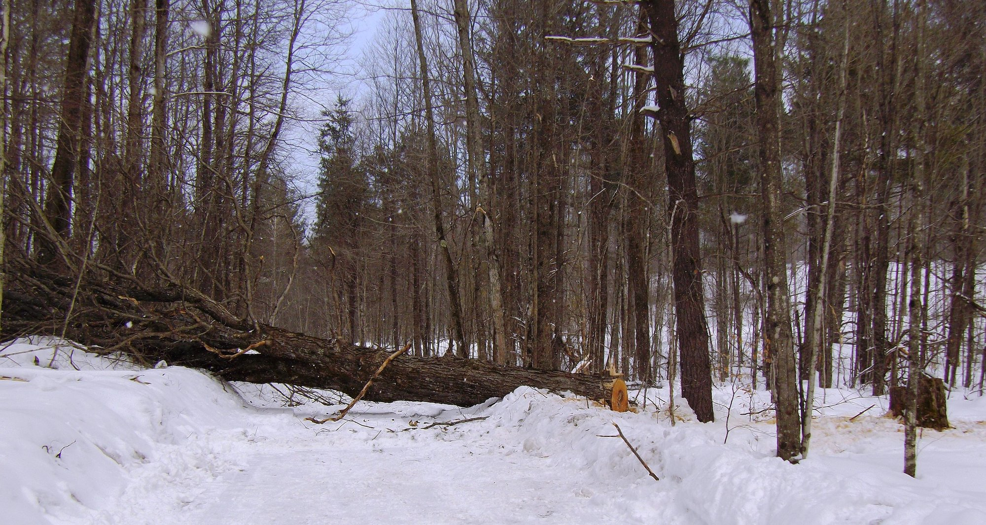 One of the felled maple trees cut down with the bottom section removed.