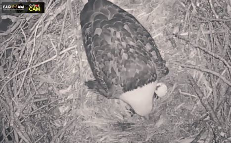 Eagle and eaglet in nest at Platte River State Fish Hatchery