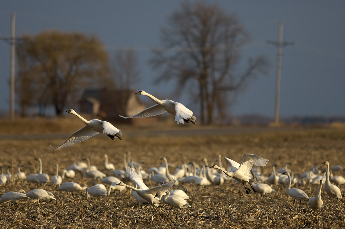 Tundra swans fly from the ground. Wetland areas provide important feeding and resting areas for migrating birds, like these swans.