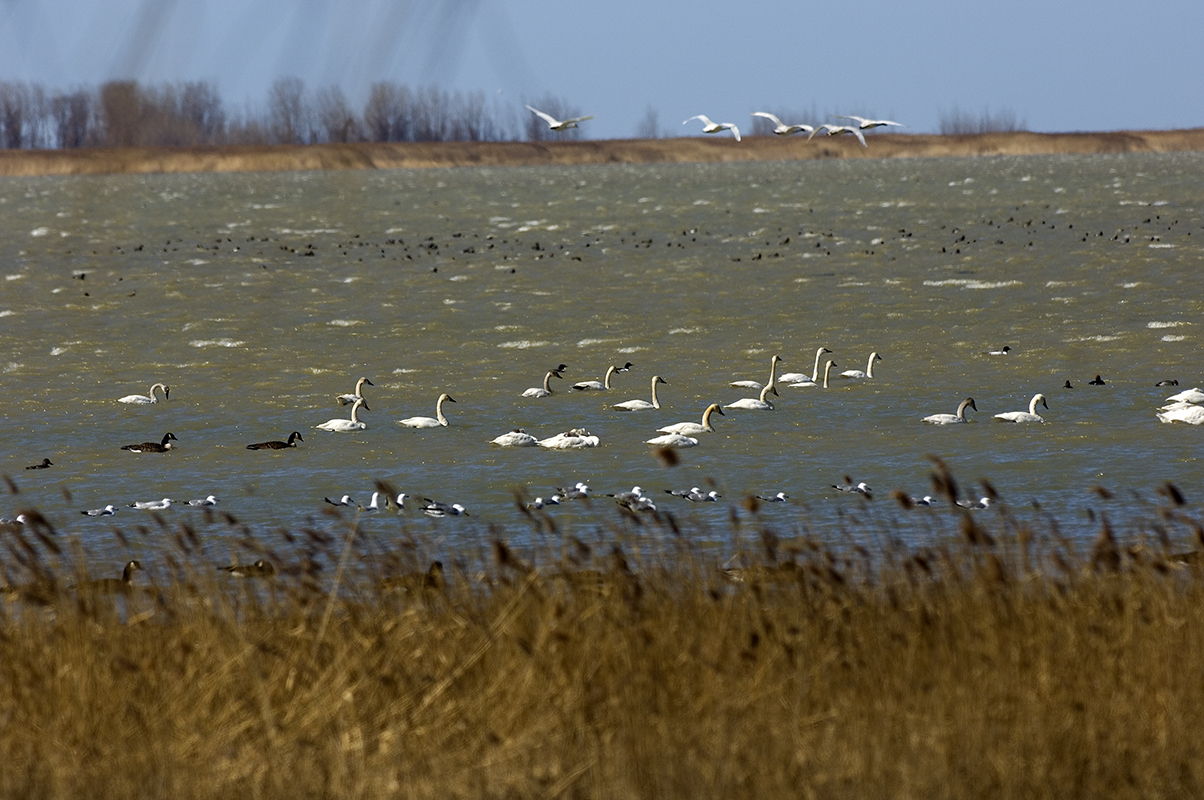 Thousands of birds gathered during migration at the Fish Point State Wildlife Area, located in Unionville. The wildlife area juts out into Saginaw Bay
