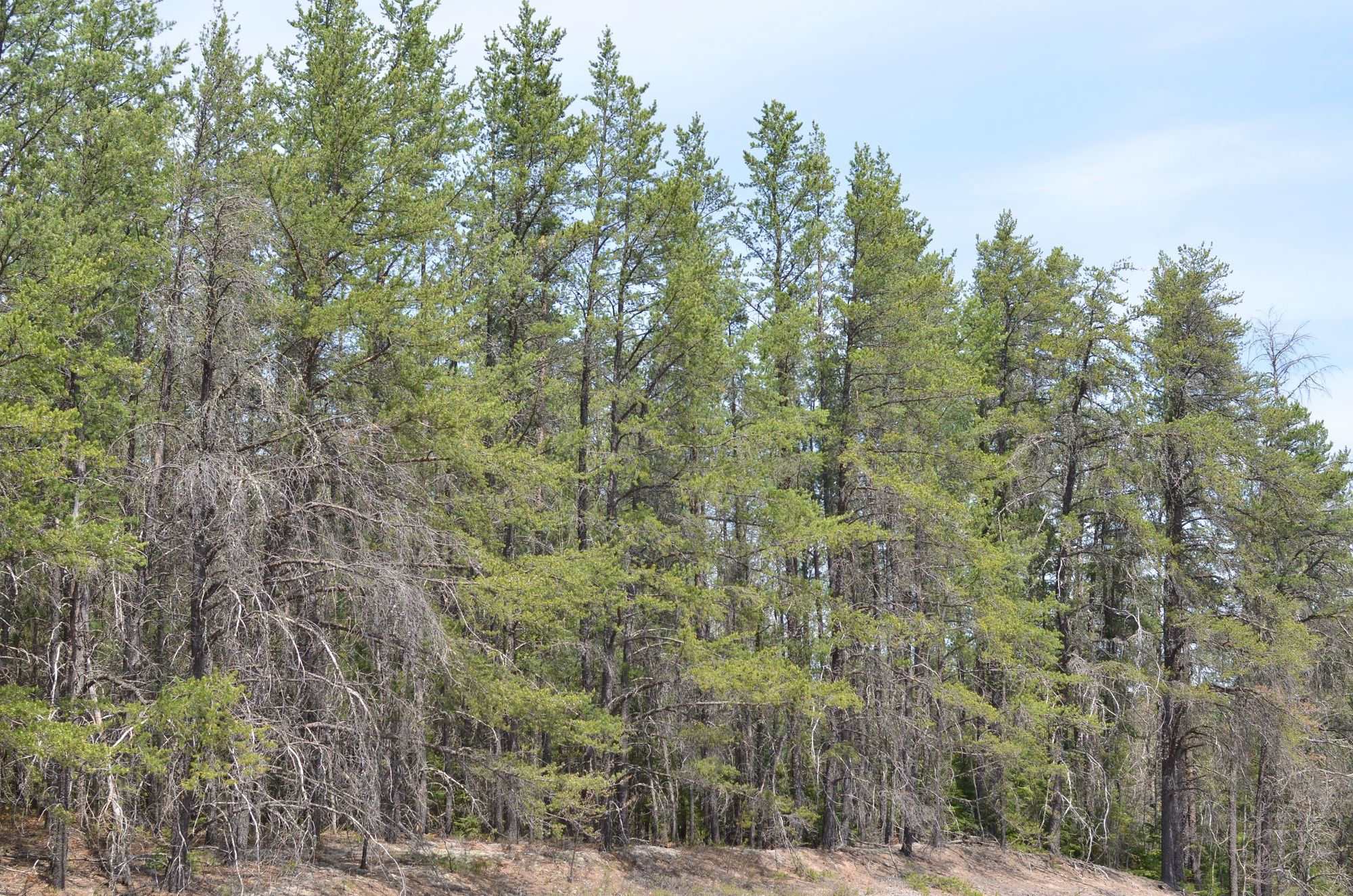 A stand of jack pine grows near a highway in the Upper Peninsula. Jack pines grow in sandy soils.