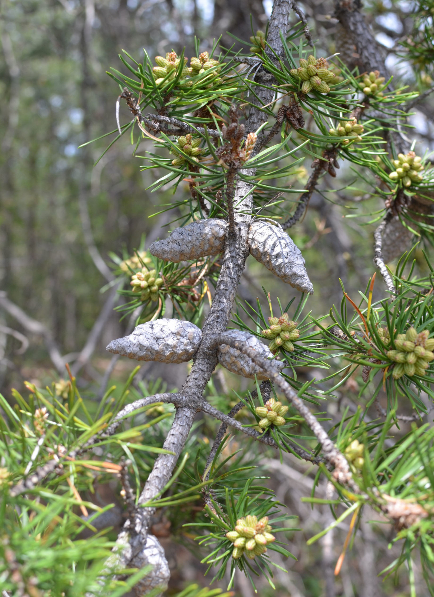 Jack pine cones are sealed with resin, shown here. They are opened by environmental triggers.