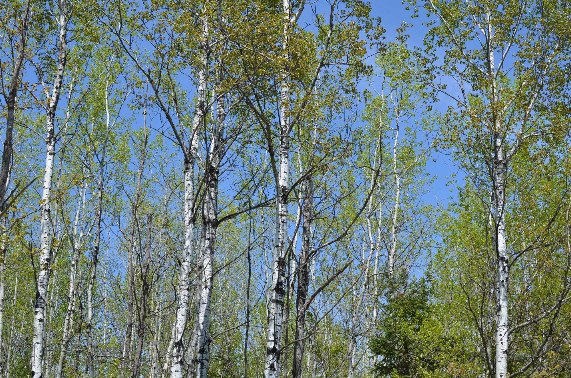 Mature aspen trees growing in the western Upper Peninsula.