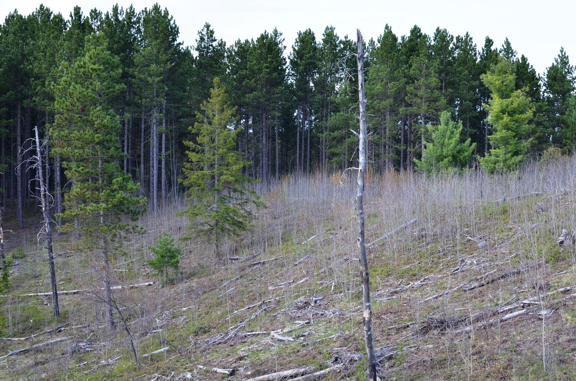 Young aspen trees sprout up after an Upper Peninsula timber cut.